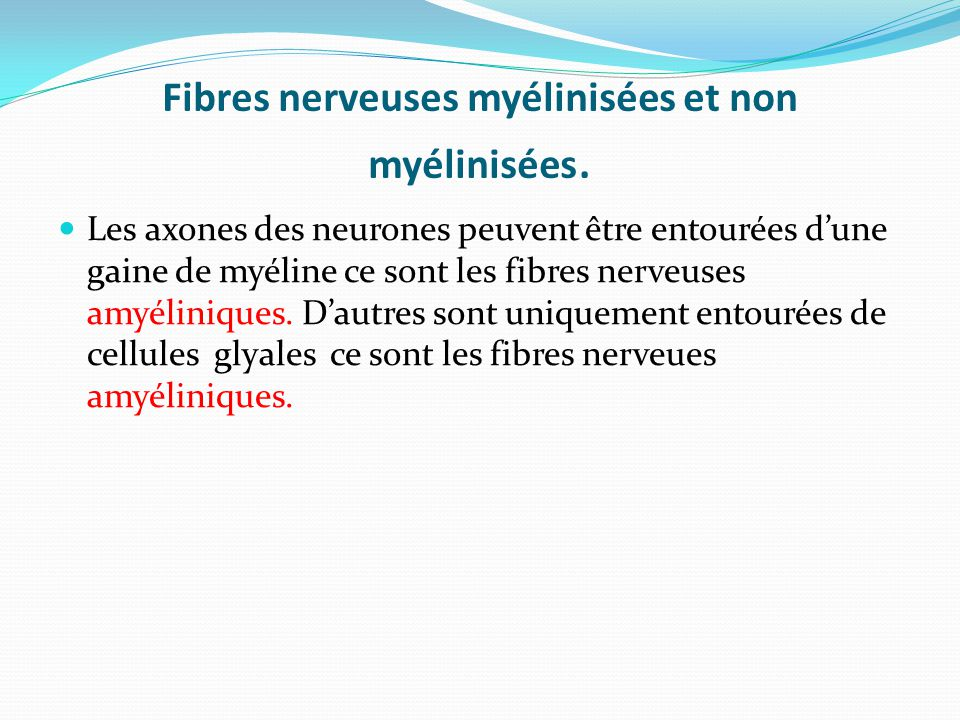 Fibres nerveuses myélinisées et non myélinisées.