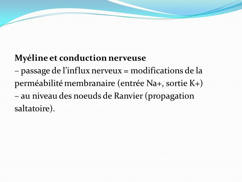 Myéline et conduction nerveuse – passage de l'influx nerveux = modifications de la perméabilité membranaire (entrée Na+, sortie K+) – au niveau des noeuds de Ranvier (propagation saltatoire).
