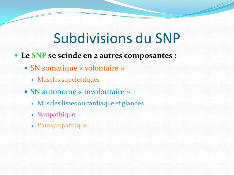 Subdivisions du SNP Le SNP se scinde en 2 autres composantes :