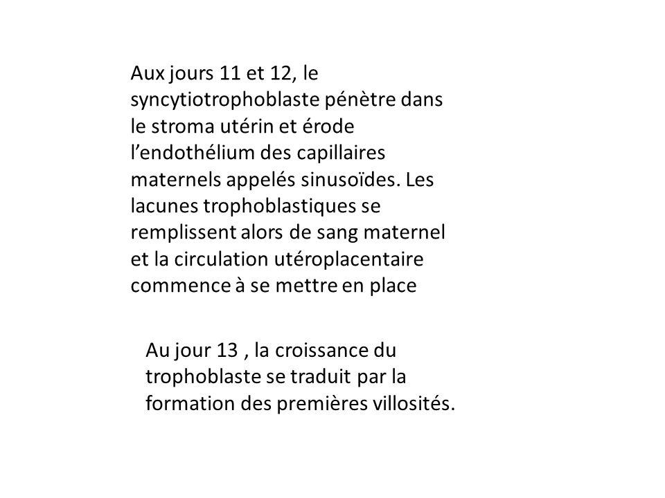 Aux jours 11 et 12, le syncytiotrophoblaste pénètre dans le stroma utérin et érode l'endothélium des capillaires maternels appelés sinusoïdes. Les lacunes trophoblastiques se remplissent alors de sang maternel et la circulation utéroplacentaire commence à se mettre en place