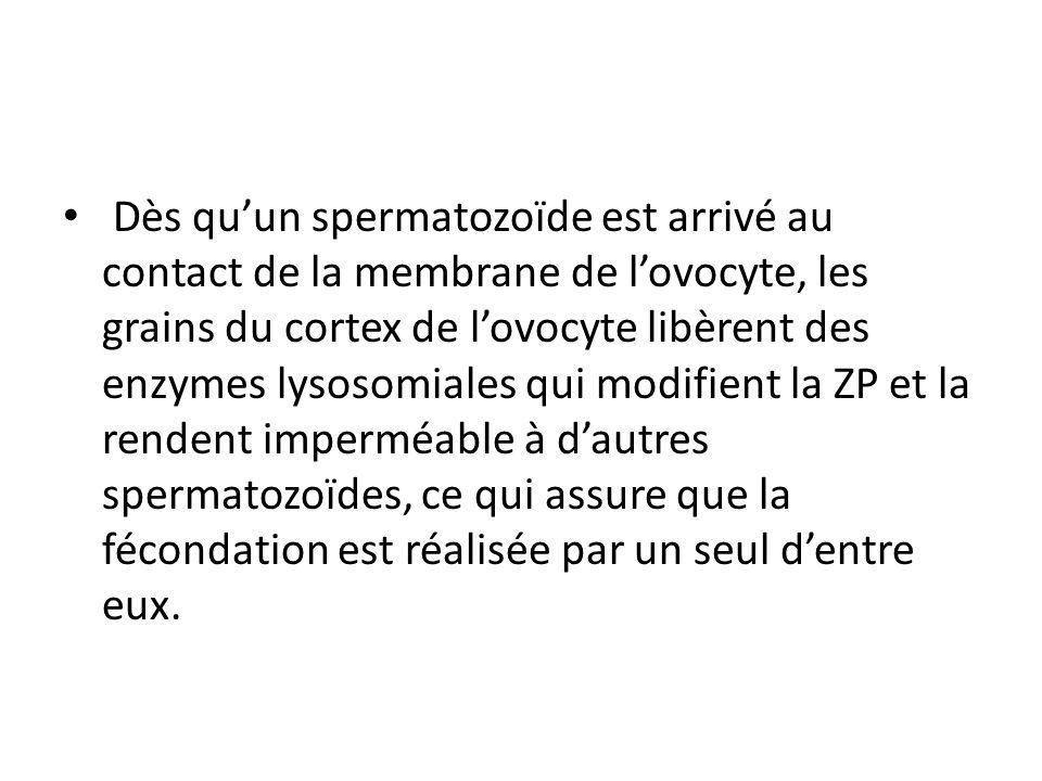 Dès qu'un spermatozoïde est arrivé au contact de la membrane de l'ovocyte, les grains du cortex de l'ovocyte libèrent des enzymes lysosomiales qui modifient la ZP et la rendent imperméable à d'autres spermatozoïdes, ce qui assure que la fécondation est réalisée par un seul d'entre eux.