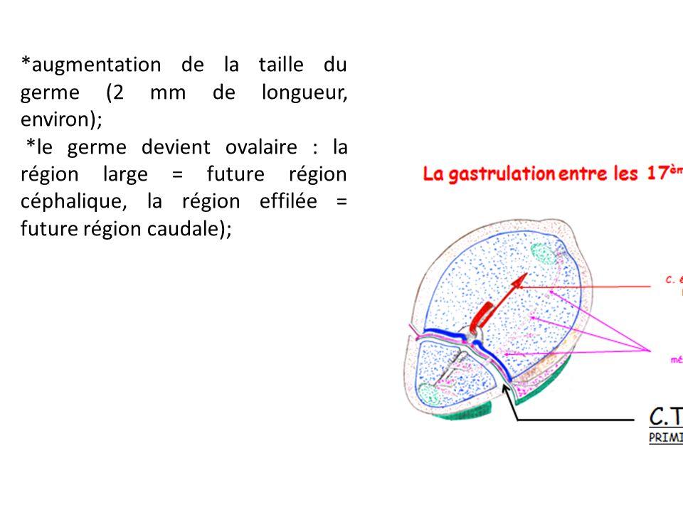 *augmentation de la taille du germe (2 mm de longueur, environ);
