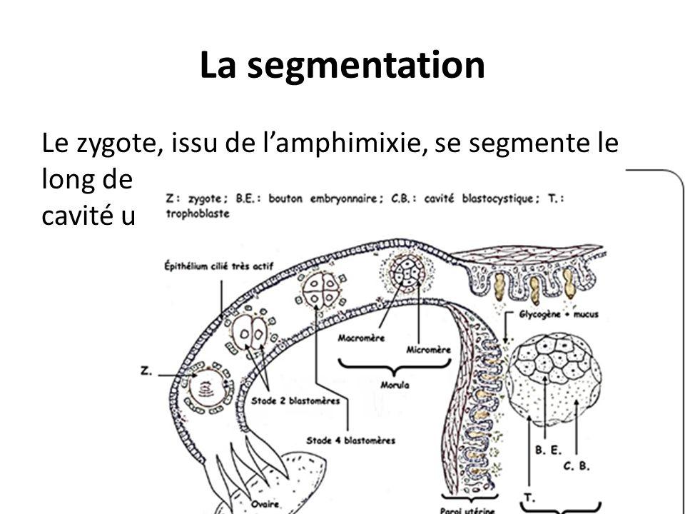 La segmentation Le zygote, issu de l'amphimixie, se segmente le long de l'oviducte tout en se dirigeant vers la cavité utérine.
