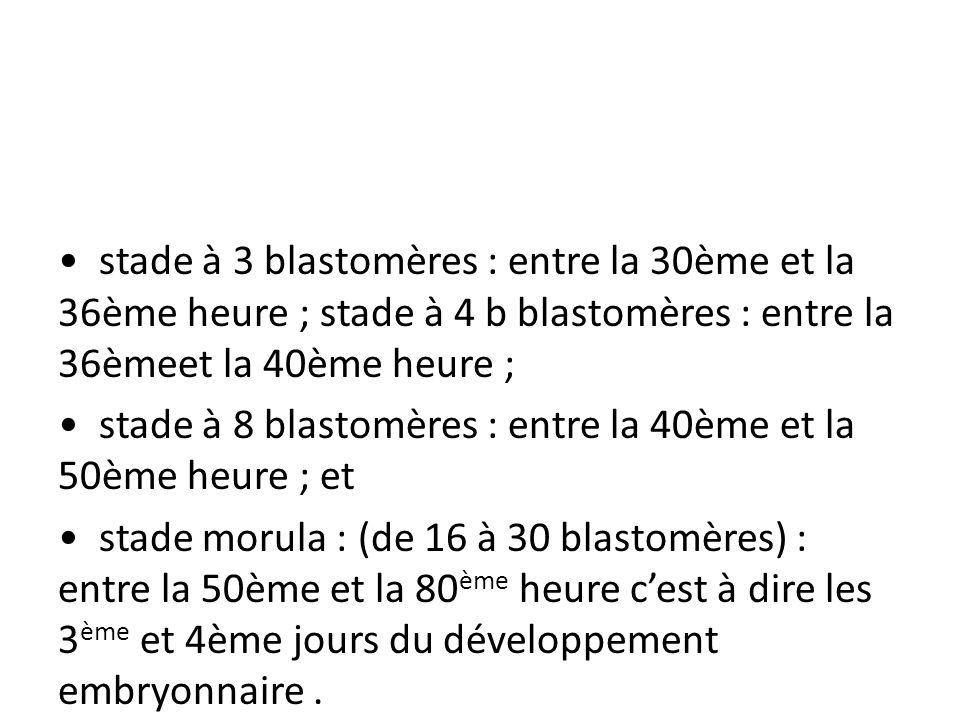 • stade à 3 blastomères : entre la 30ème et la 36ème heure ; stade à 4 b blastomères : entre la 36èmeet la 40ème heure ;