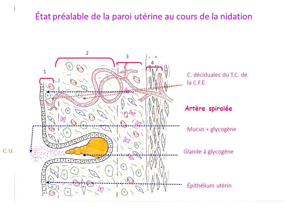 État préalable de la paroi utérine au cours de la nidation