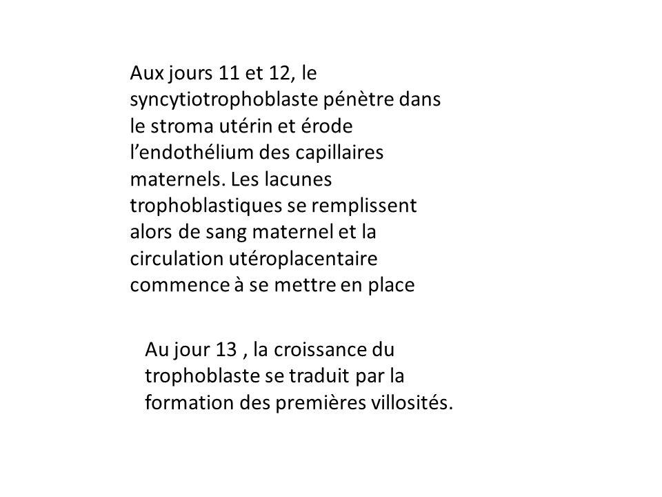 Aux jours 11 et 12, le syncytiotrophoblaste pénètre dans le stroma utérin et érode l'endothélium des capillaires maternels. Les lacunes trophoblastiques se remplissent alors de sang maternel et la circulation utéroplacentaire commence à se mettre en place