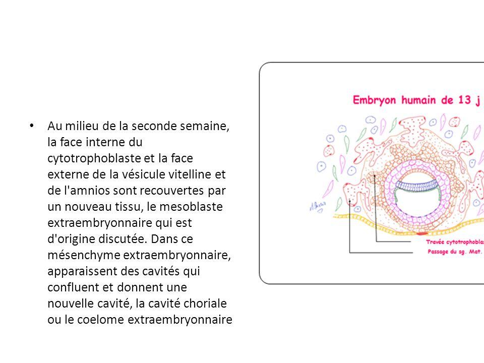 Au milieu de la seconde semaine, la face interne du cytotrophoblaste et la face externe de la vésicule vitelline et de l amnios sont recouvertes par un nouveau tissu, le mesoblaste extraembryonnaire qui est d origine discutée.