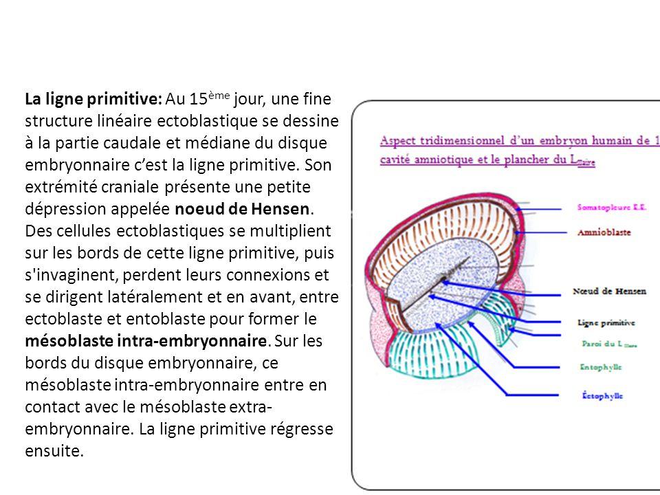 La ligne primitive: Au 15ème jour, une fine structure linéaire ectoblastique se dessine à la partie caudale et médiane du disque embryonnaire c'est la ligne primitive.