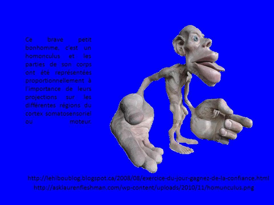 Ce brave petit bonhomme, c est un homonculus et les parties de son corps ont été représentées proportionnellement à l importance de leurs projections sur les différentes régions du cortex somatosensoriel ou moteur.