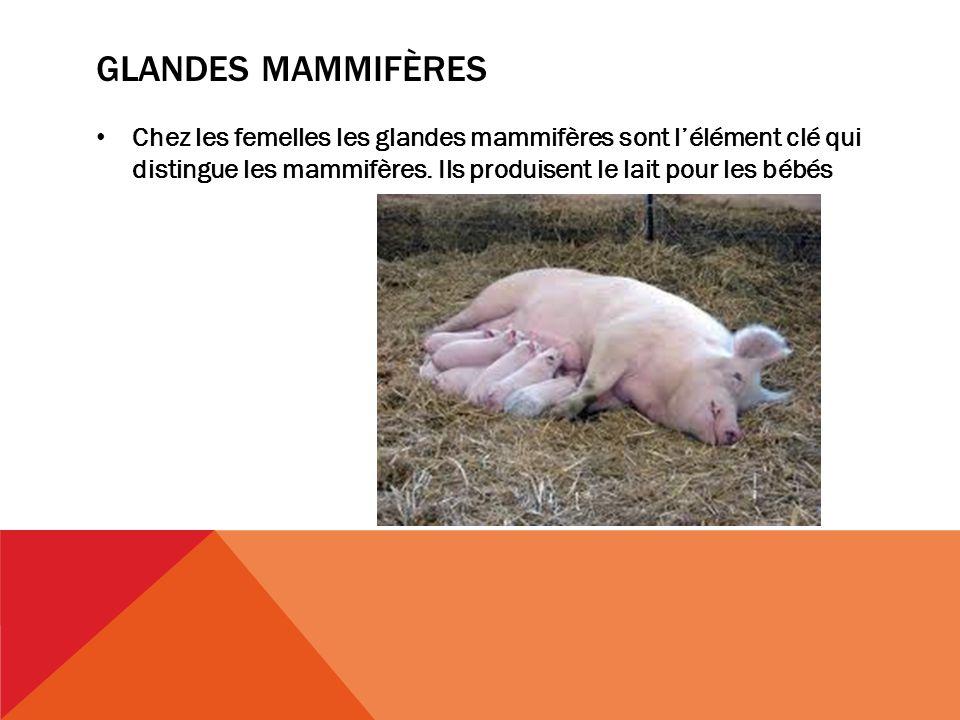 glandes mammifères Chez les femelles les glandes mammifères sont l'élément clé qui distingue les mammifères.