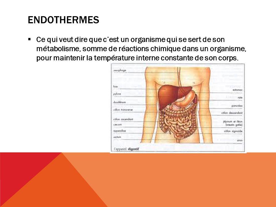 endothermes