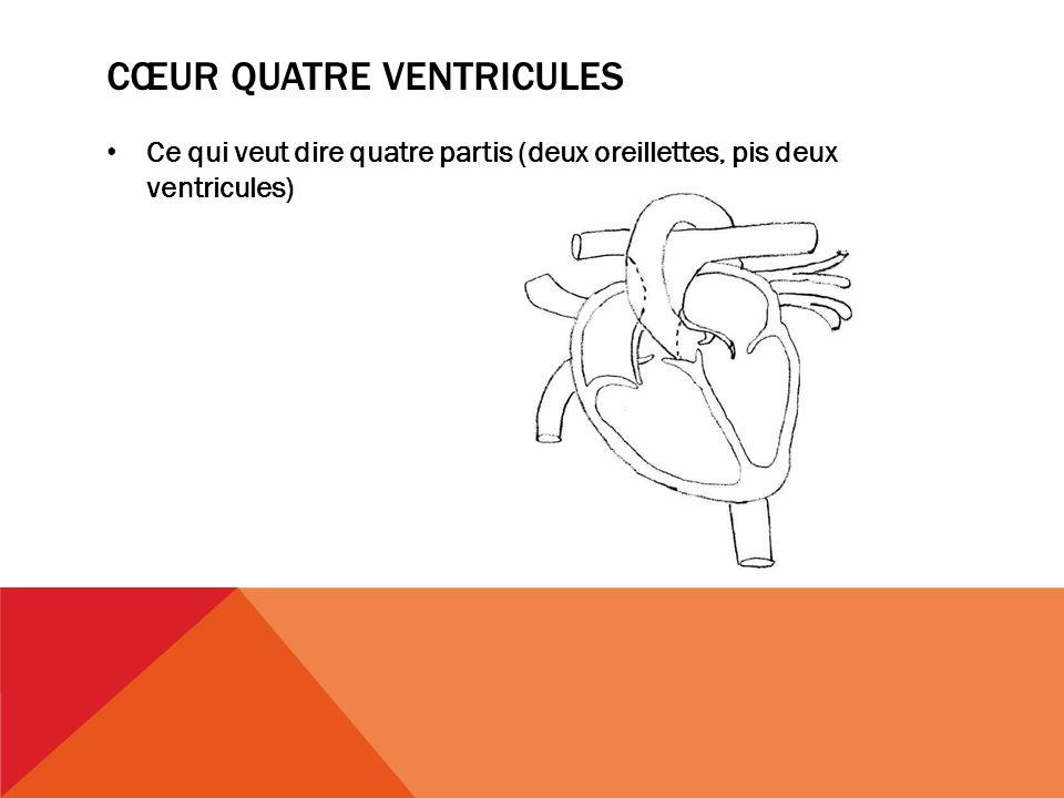 cœur quatre ventricules