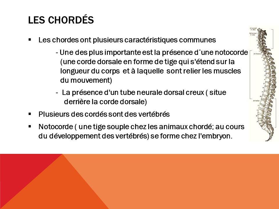 Les chordés Les chordes ont plusieurs caractéristiques communes