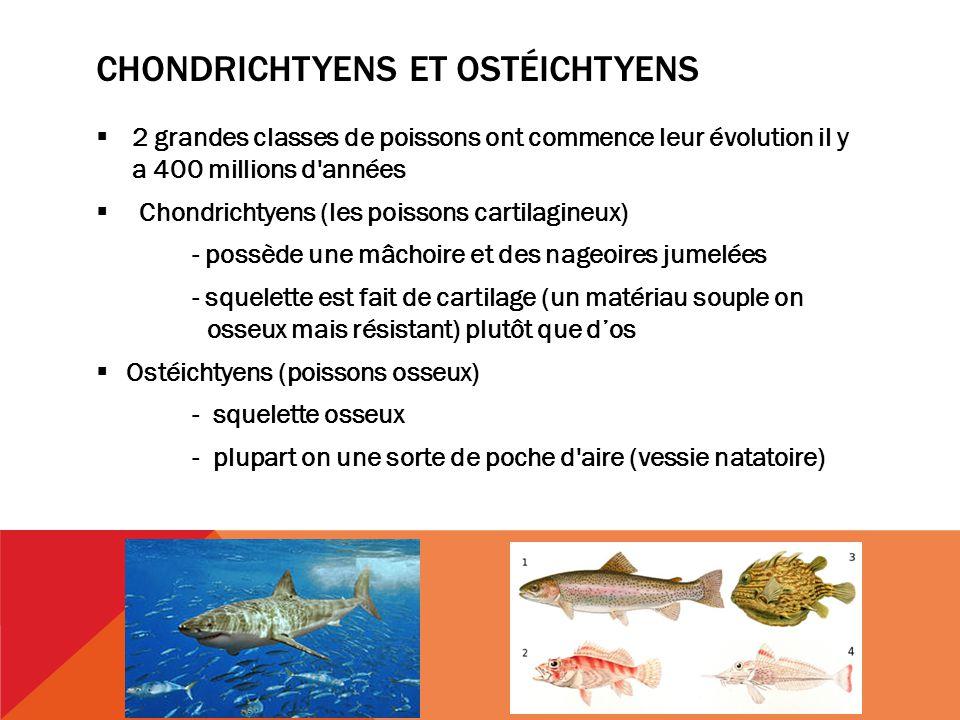 Chondrichtyens et ostéichtyens