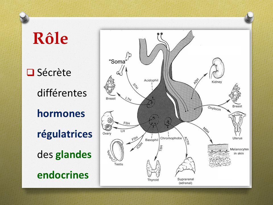 Rôle Sécrète différentes hormones régulatrices des glandes endocrines