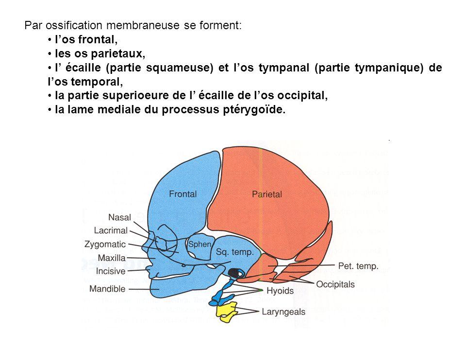 Par ossification membraneuse se forment: