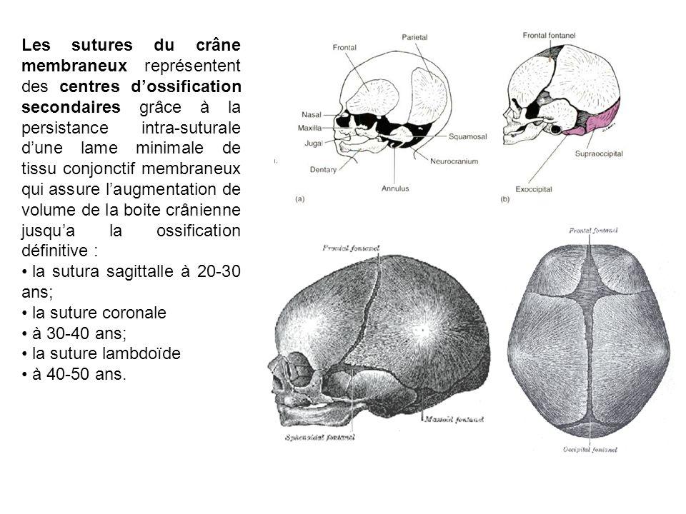 Les sutures du crâne membraneux représentent des centres d'ossification secondaires grâce à la persistance intra-suturale d'une lame minimale de tissu conjonctif membraneux qui assure l'augmentation de volume de la boite crânienne jusqu'a la ossification définitive :