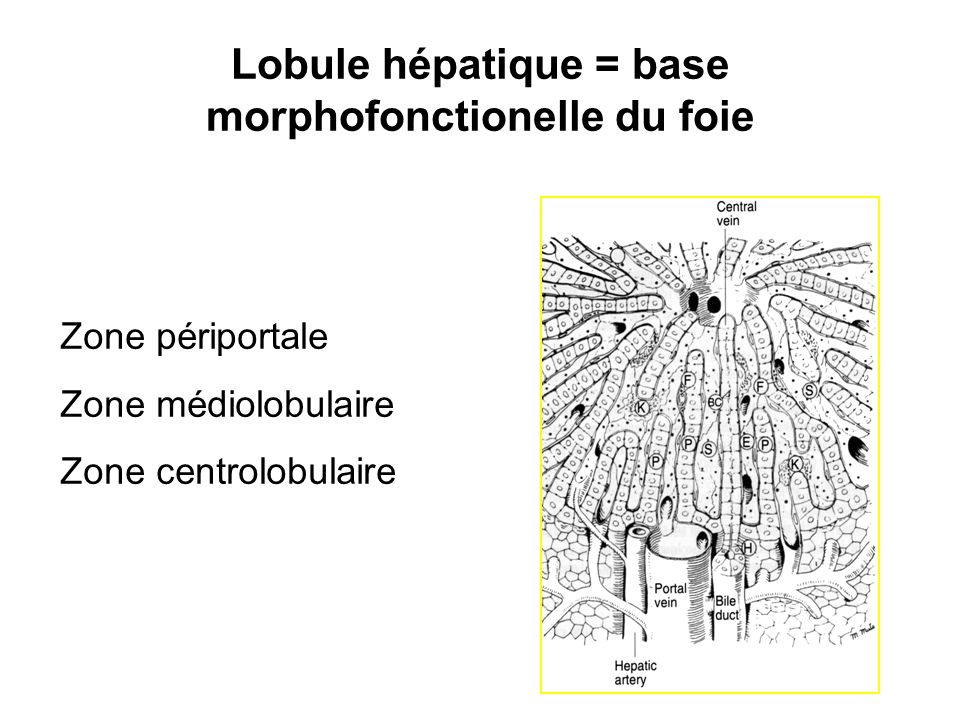 Lobule hépatique = base morphofonctionelle du foie