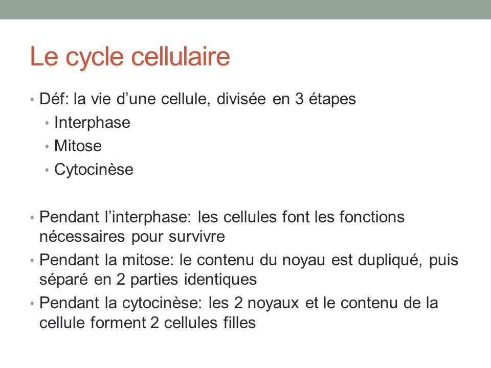 Le cycle cellulaire Déf: la vie d'une cellule, divisée en 3 étapes