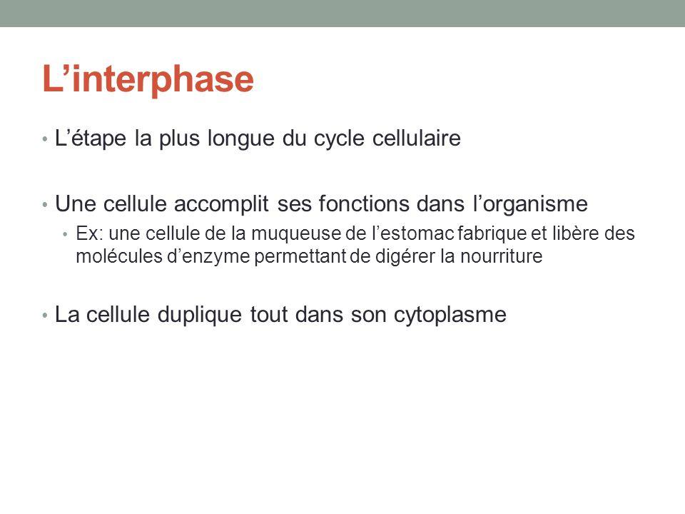 L'interphase L'étape la plus longue du cycle cellulaire