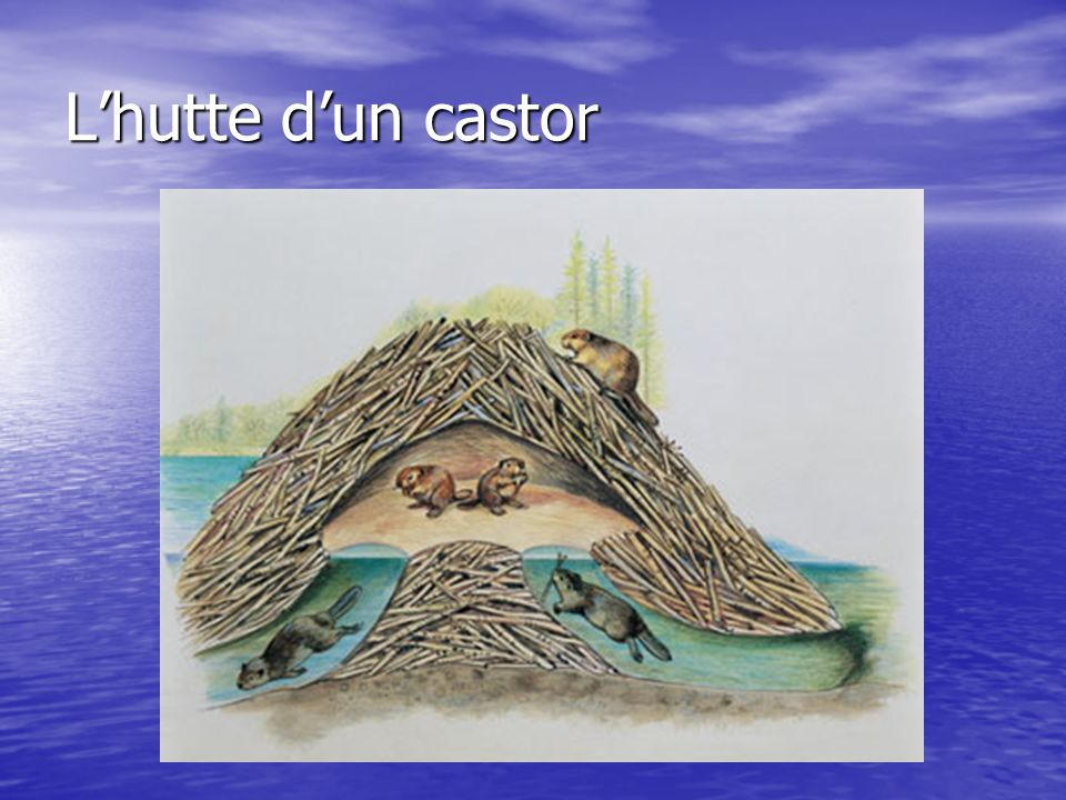 L'hutte d'un castor Pourquoi est-ce qu'il entre et sort dans l'eau