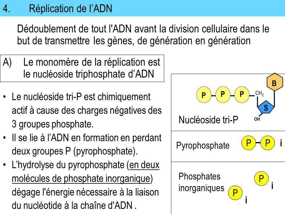 A) Le monomère de la réplication est le nucléoside triphosphate d'ADN