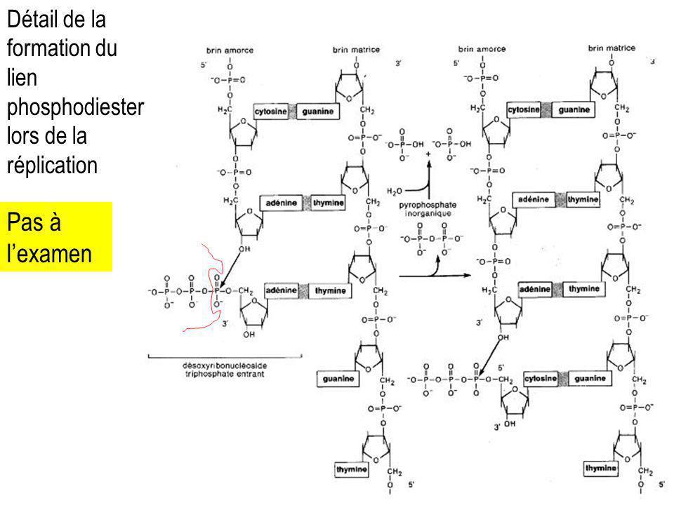 Détail de la formation du lien phosphodiester lors de la réplication
