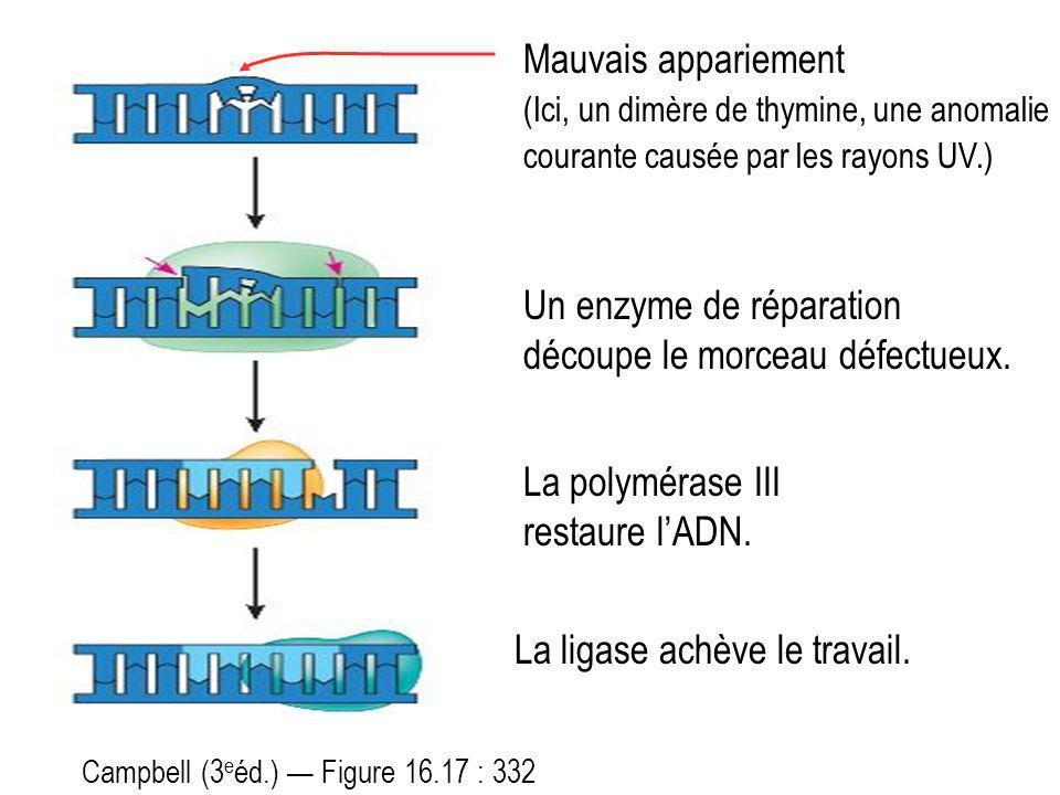 Un enzyme de réparation découpe le morceau défectueux.