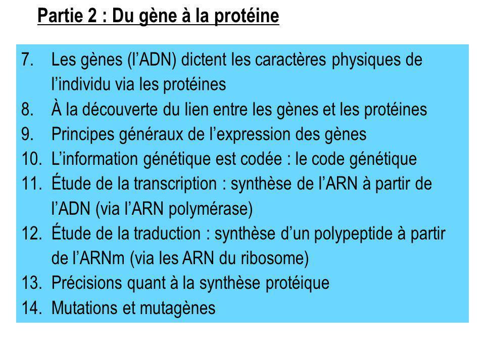 Partie 2 : Du gène à la protéine