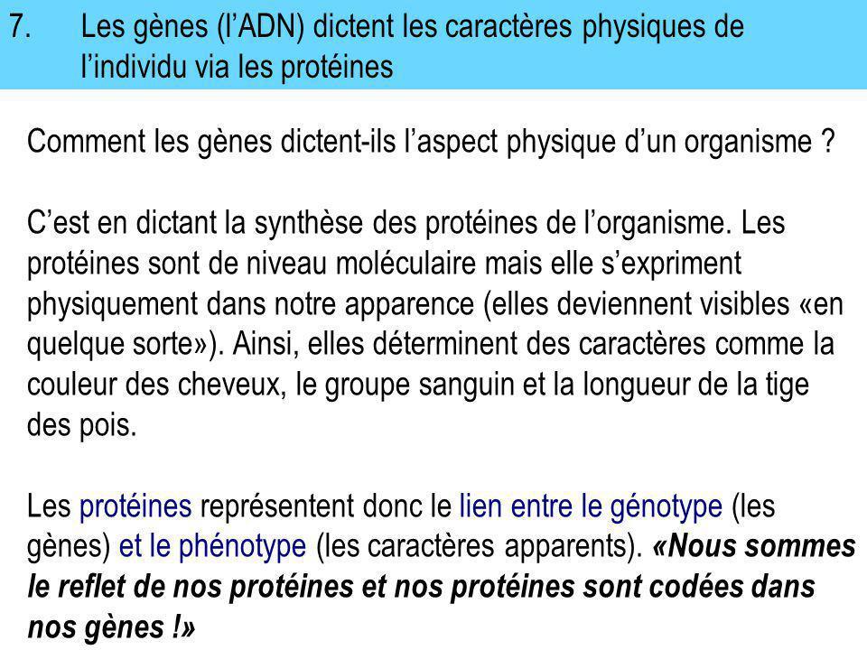 7. Les gènes (l'ADN) dictent les caractères physiques de l'individu via les protéines