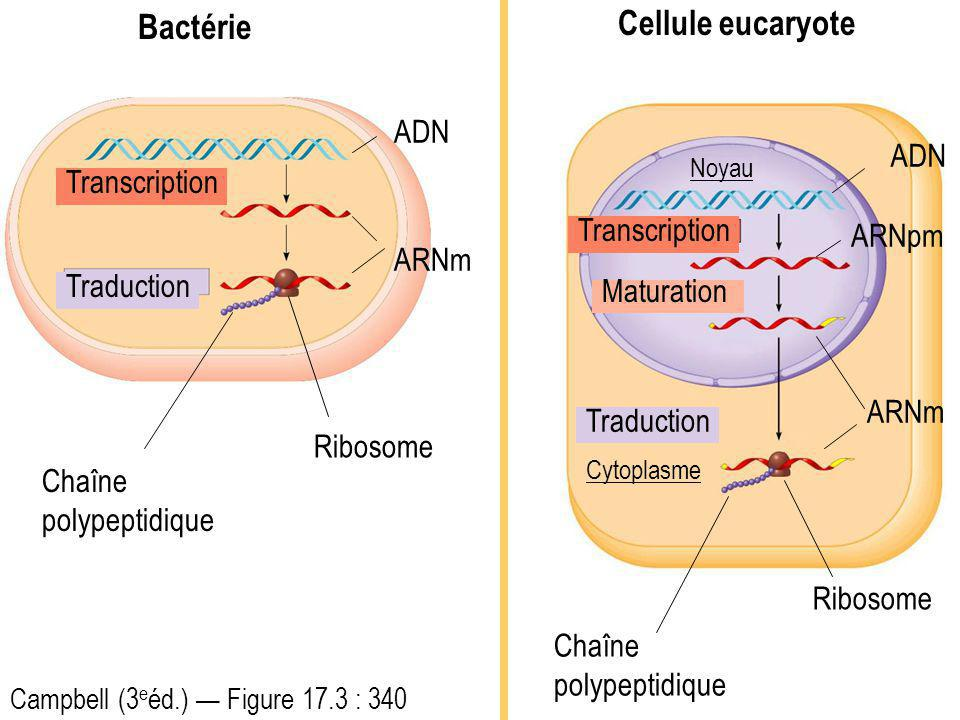 Bactérie Cellule eucaryote ADN ADN Transcription ARNpm Transcription