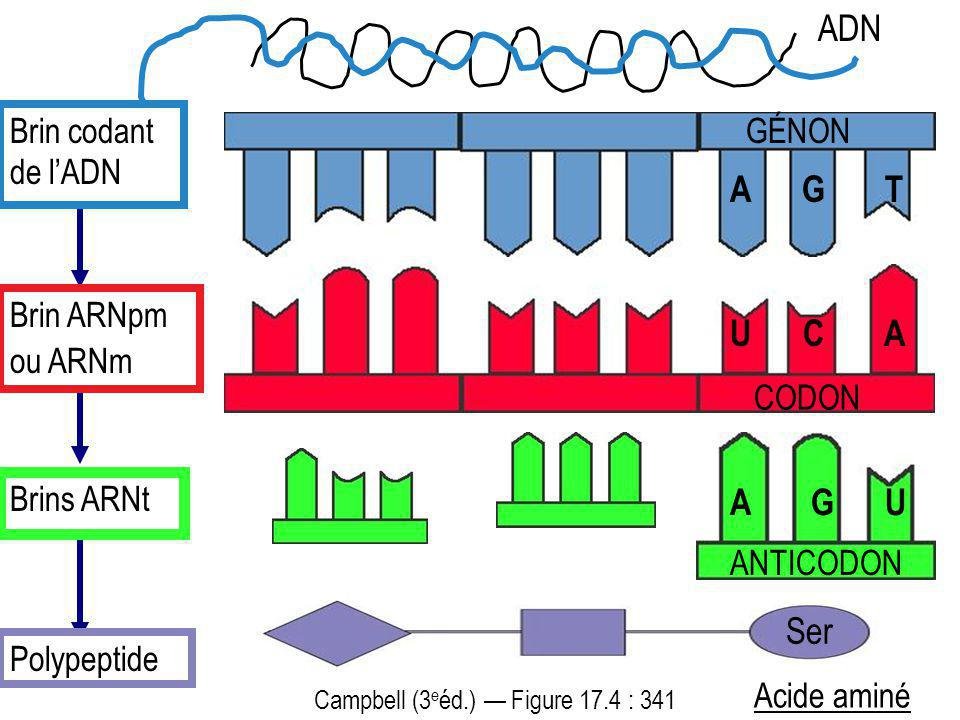 ADN A G T U C A A G U Ser Brin codant de l'ADN GÉNON