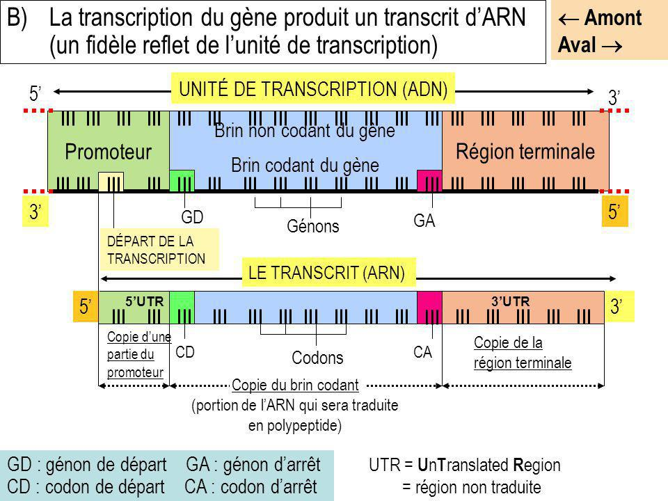 B) La transcription du gène produit un transcrit d'ARN (un fidèle reflet de l'unité de transcription)