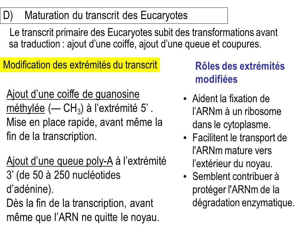 D) Maturation du transcrit des Eucaryotes
