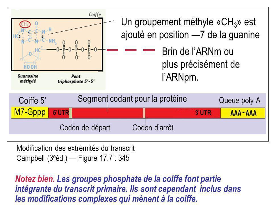 Un groupement méthyle «CH3» est ajouté en position —7 de la guanine
