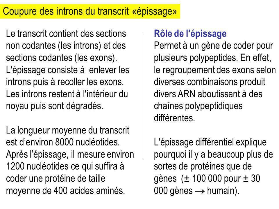 Coupure des introns du transcrit «épissage»