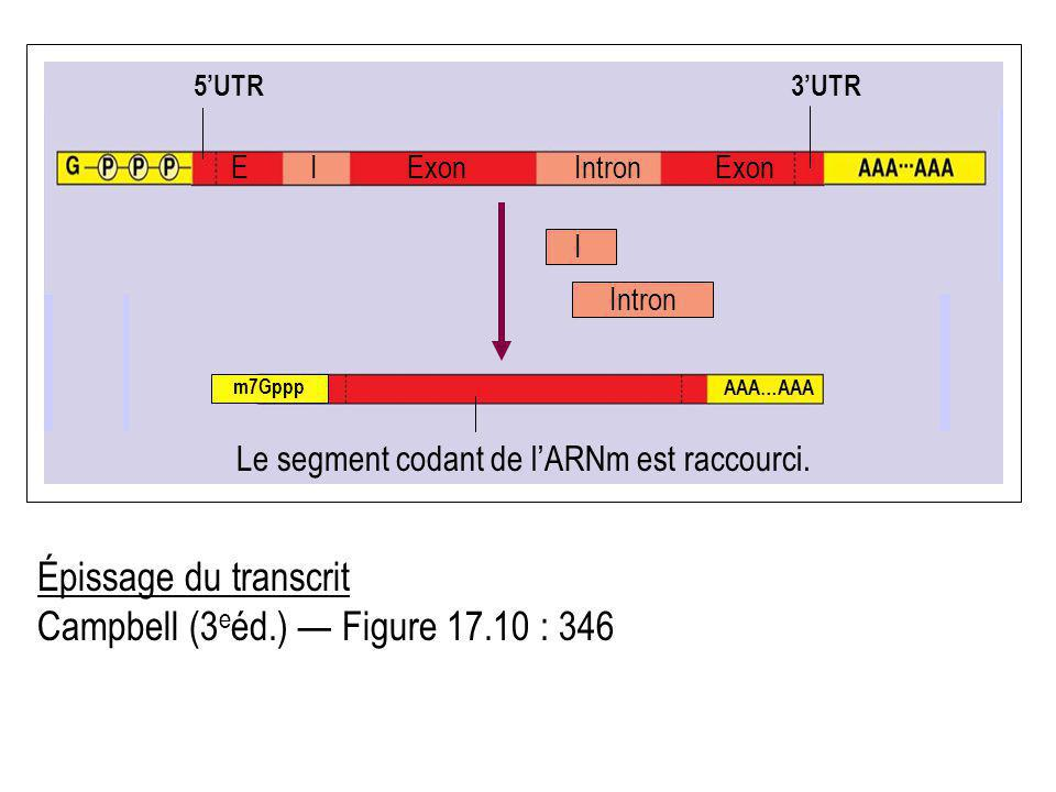 Le segment codant de l'ARNm est raccourci.
