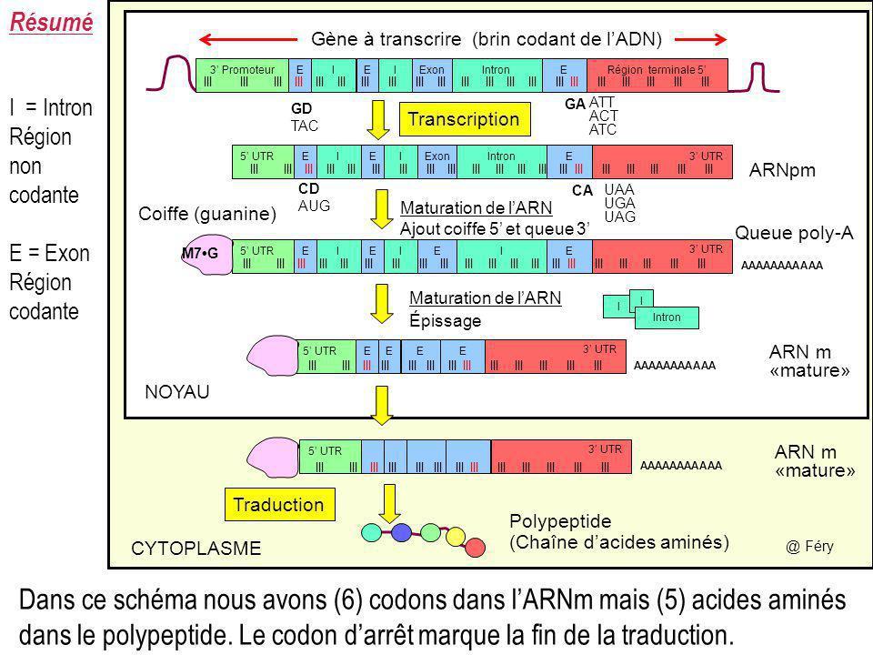 Gène à transcrire (brin codant de l'ADN)
