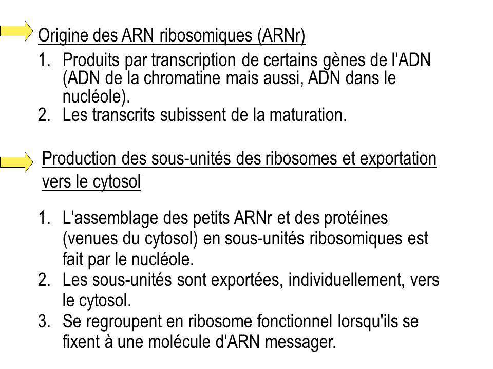 Origine des ARN ribosomiques (ARNr)