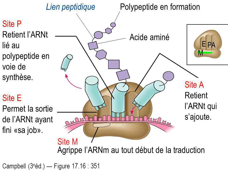 Polypeptide en formation