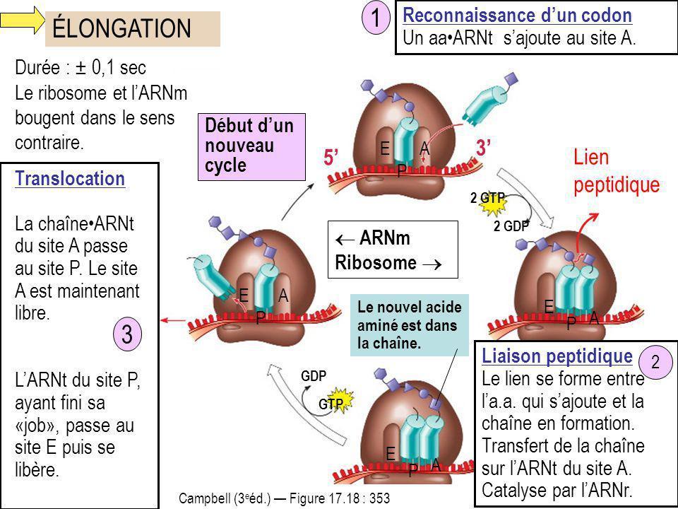 1 ÉLONGATION 3 3' 5' Lien peptidique