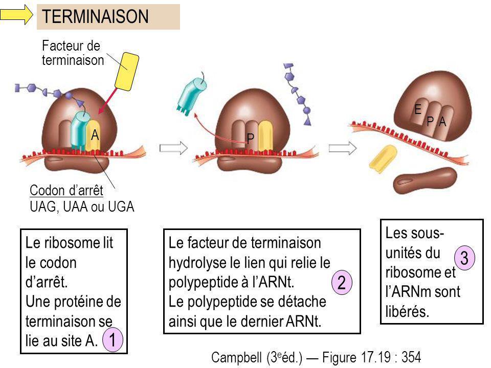 TERMINAISON 3 2 1 Les sous-unités du ribosome et l'ARNm sont libérés.