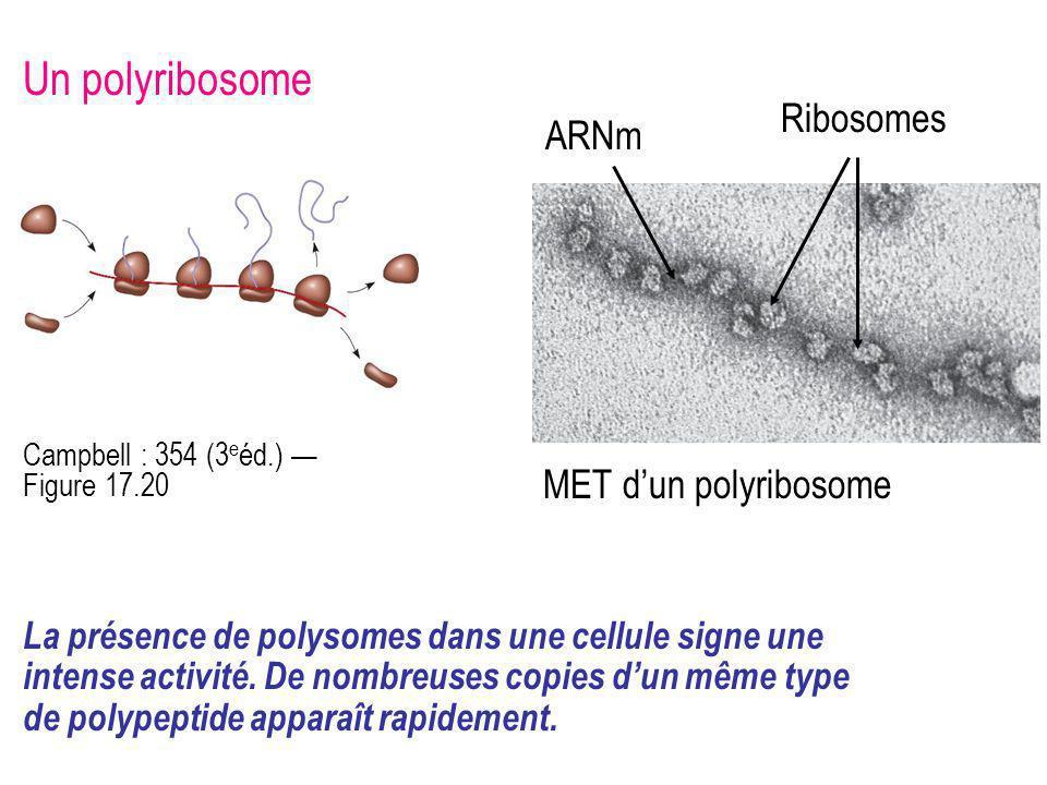 Un polyribosome Ribosomes ARNm MET d'un polyribosome