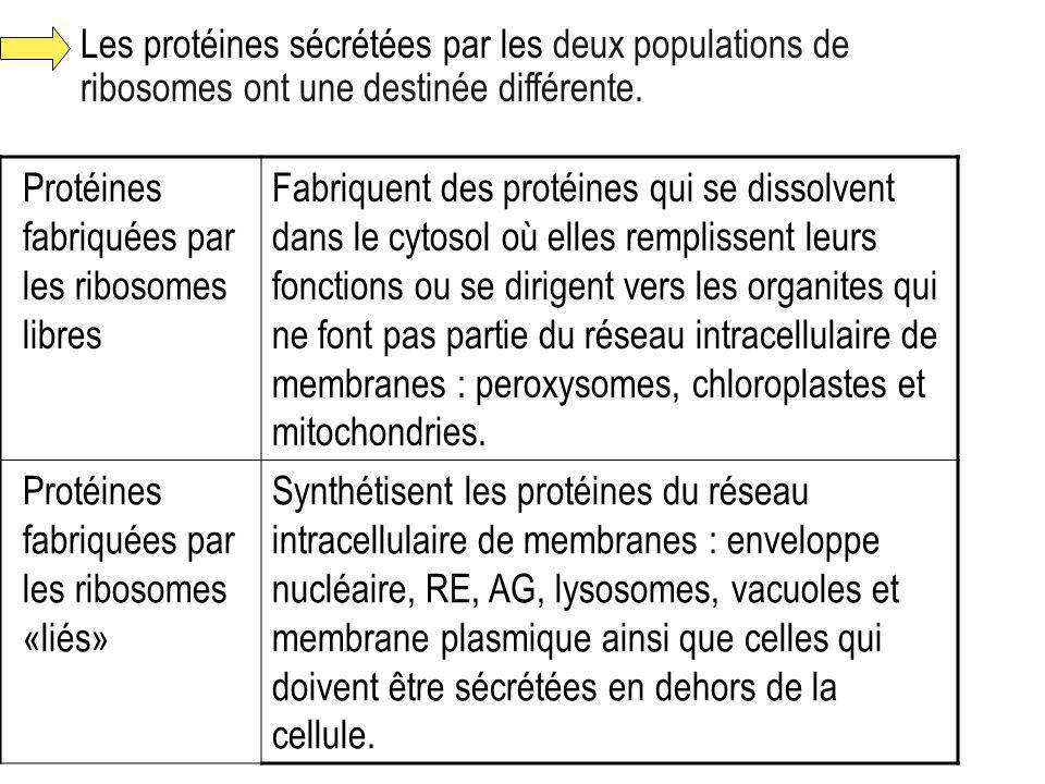 Les protéines sécrétées par les deux populations de ribosomes ont une destinée différente.