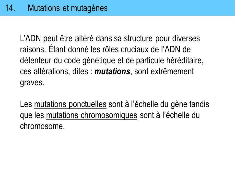 14. Mutations et mutagènes