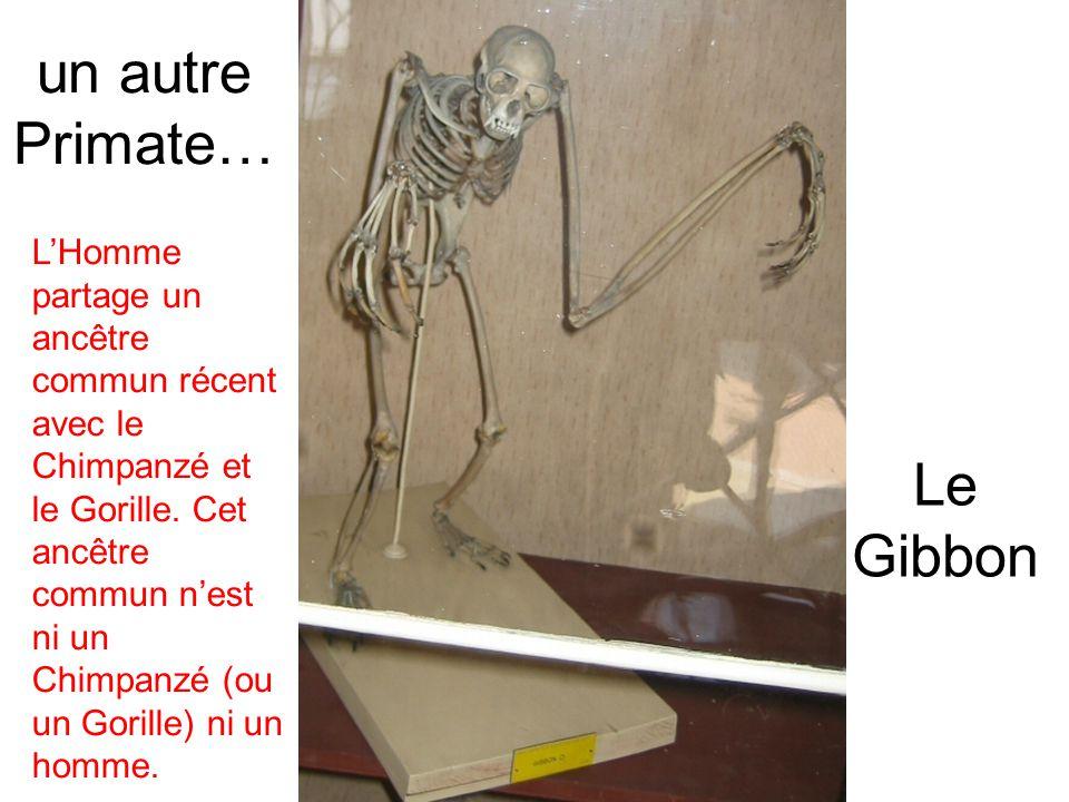 un autre Primate… Le Gibbon