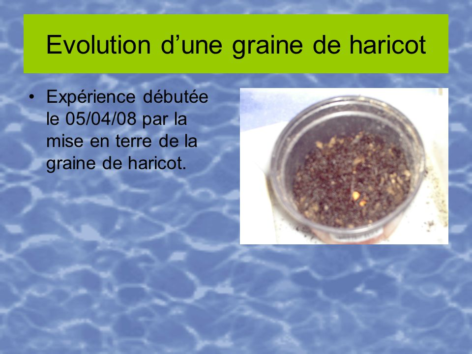 Evolution d'une graine de haricot