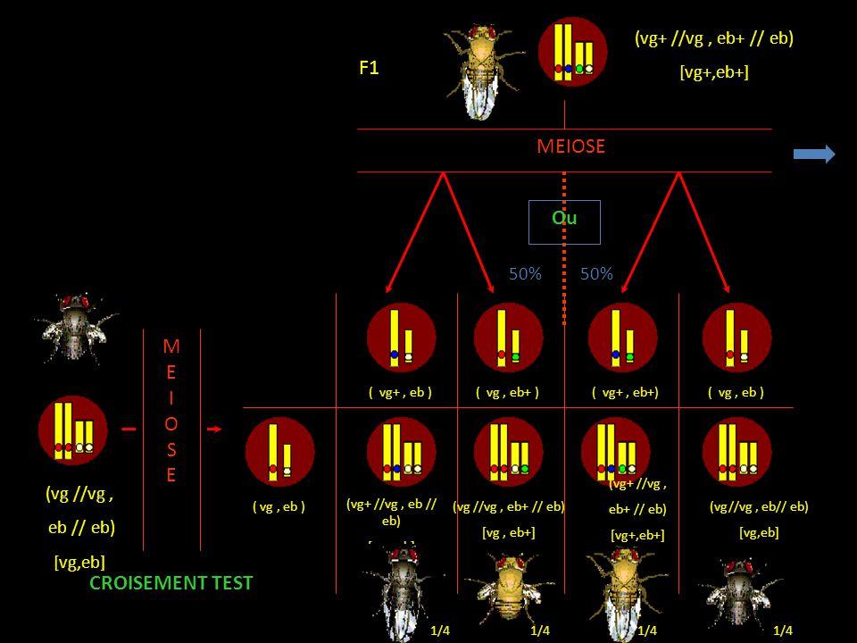 F1 MEIOSE Ou M E I O S CROISEMENT TEST (vg+ //vg , eb+ // eb)