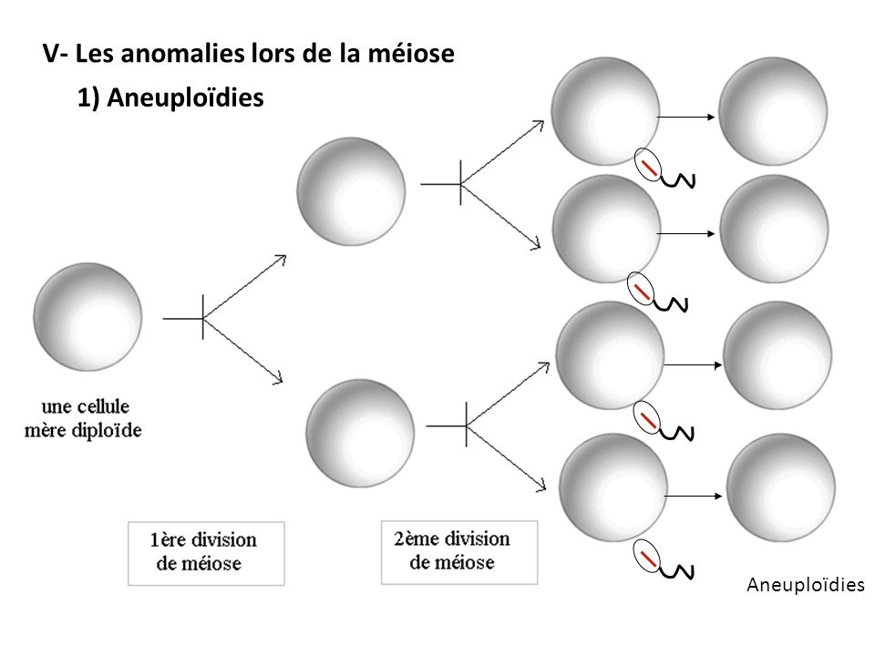 V- Les anomalies lors de la méiose
