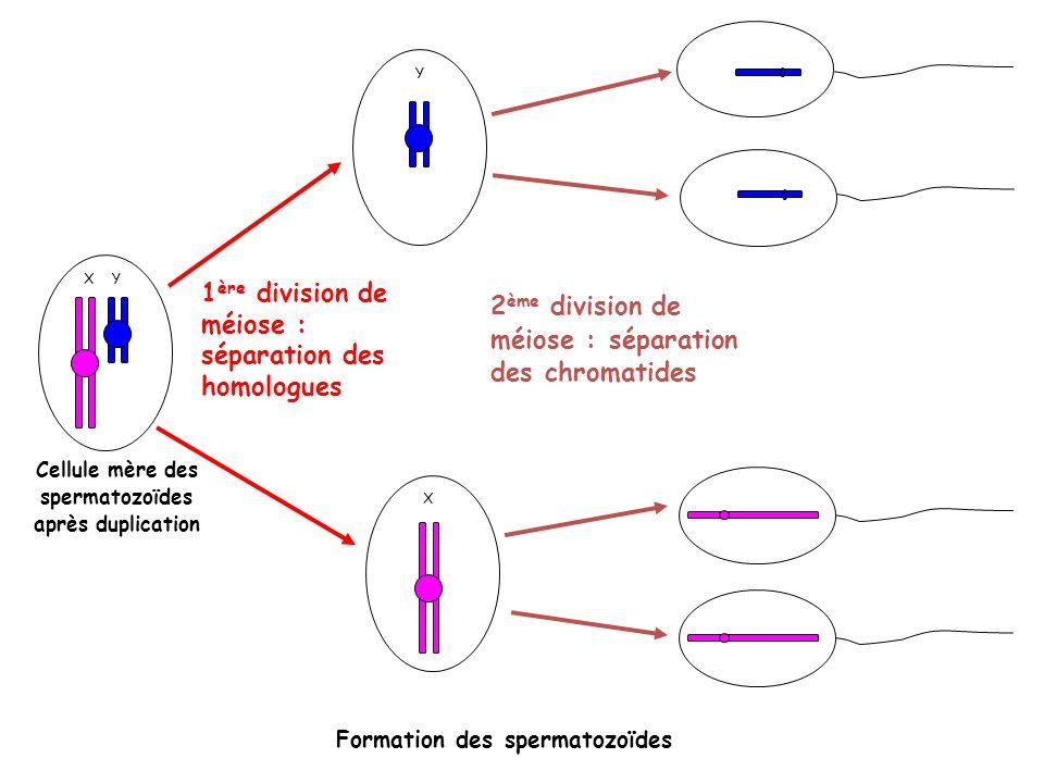 Cellule mère des spermatozoïdes après duplication